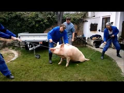 Tradiční moravská zabijačka - Traditional Moravian Pig Slaughter