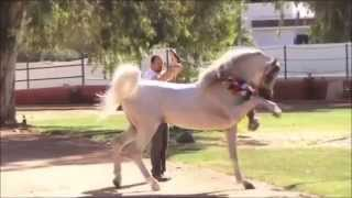 «Arabian Times›› |арабские лошади|(Ролик для группы «Arabian Times›› |арабские лошади| ( http://vk.com/arabiantimes ). Музыка: Bakermat – Teach Me., 2015-05-23T21:12:56.000Z)