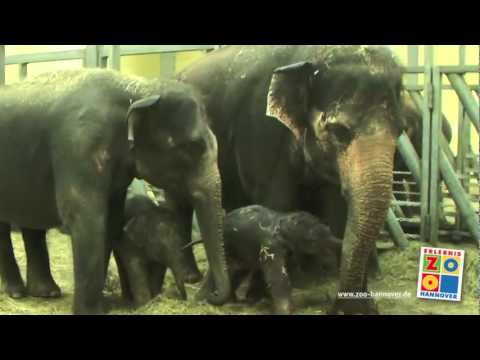 Elefantengeburt im Erlebnis-Zoo Hannover