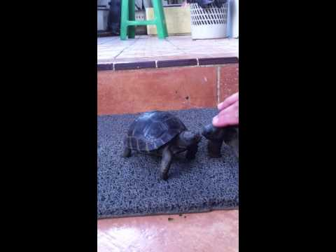 how cute my aldabra tortoises.