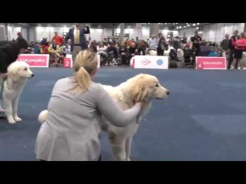 WDS2017 - Pyrenean Mountain Dog - Best Puppy Of Breed