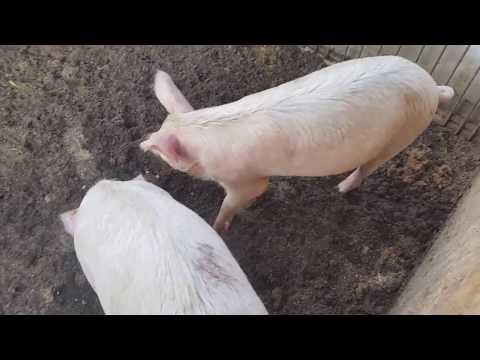 Отчёт за 5 месяцев выращивания белых свиней