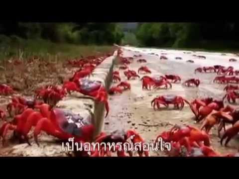 ปูนาขาเก : มหัศจรรย์ การย้ายถิ่นของปูแดง