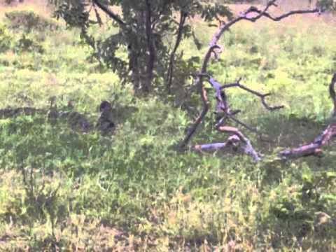 Safari a Mikumi, Simba Jike I