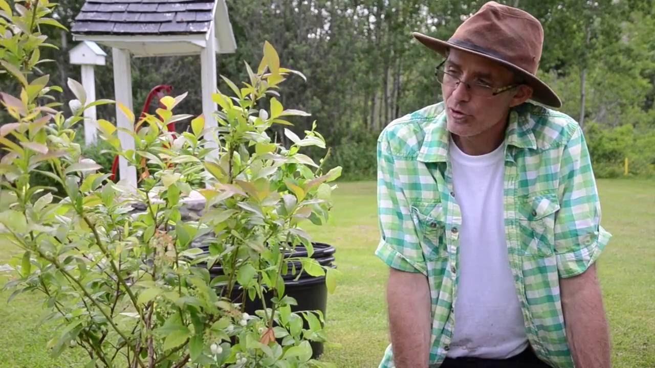 Comment planter un plant de bleuet: partie 2 de 2 - YouTube