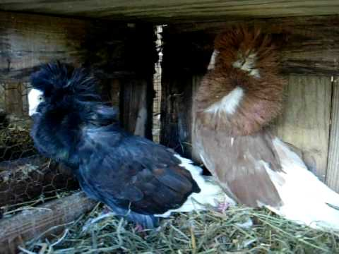 Fancy Jacobin Pigeons / WWW.PigeonBreed.Com - YouTube