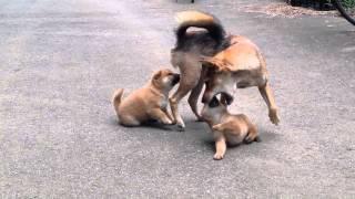 最近の柴犬ママは、なかなか厳しく子犬ちゃんたちをしつけています。甘...