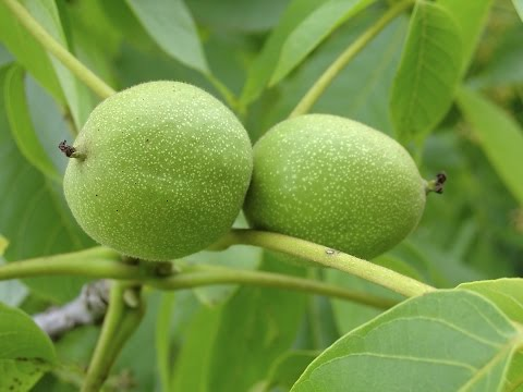 How to Chandler Walnut Tree Pruning and Fertilizing?