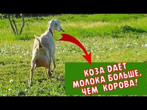 КОЗА ДАЕТ МОЛОКА БОЛЬШЕ, ЧЕМ  КОРОВА!?БОЙ РОГОВ:коза Vs корова.КОГО ДОИТЬ ВЫГОДНЕЕ? Нубийская порода