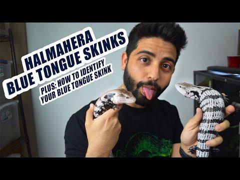 Halmahera Blue Tongue Skink Care (BONUS: How to identify your BTS)
