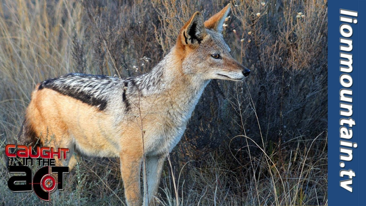 A hungry jackal wanted to attack an ostrich, but changed his mind 63