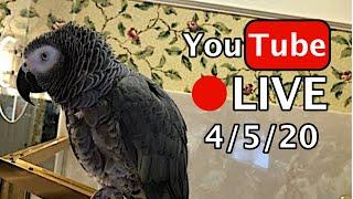 🔴🐦Einstein  Parrot LIVE! 4/5/20 Cabin Fever? 🏠