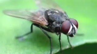 Мухи невероятный вред - болезни и инфекции. Как бороться с мухами