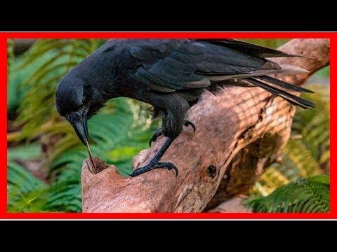 Hawaiian crows show their tool-using smarts