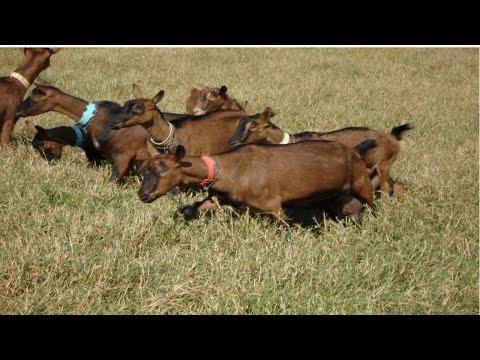 Clique e veja o vídeo Curso Criação de Cabras Leiteiras - Cria, Recria e Produção de Leite