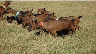 Cria, Recria e Produção de Leite de Cabra - Curso CPT Criação de Cabras Leiteiras