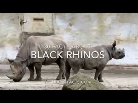 Black Rhino Facts: 30 Facts About Black Rhinos