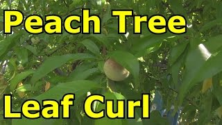 Peach Leaf Curl Common in Peach Trees and Nectarines