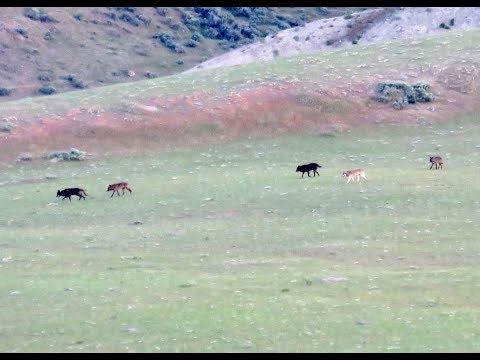 Wolves on Mount Everts - Yellowstone National Park