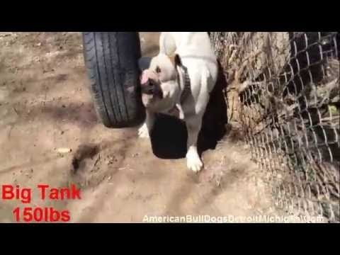 American Bull Dog Monster Big Tank 150lbs Johnson vs Kenedy