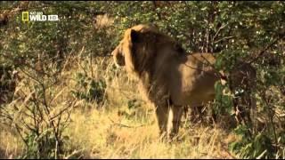 Дикая Ботсвана-братство львов