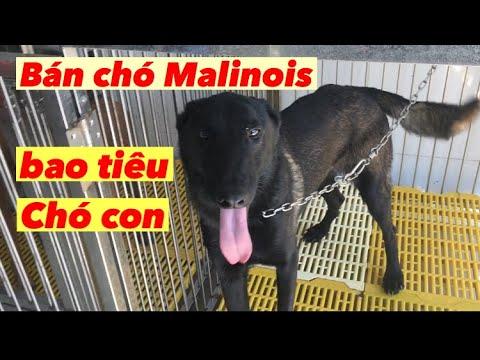 Bán giống chó Malinois cái sinh sản Bao Tiêu đầu ra Becgie bỉ tại tp hcm 0774062860