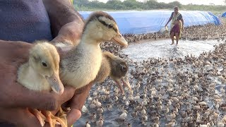 #Duckling | How to farm baby ducks | Village Duck farming and lifestyle