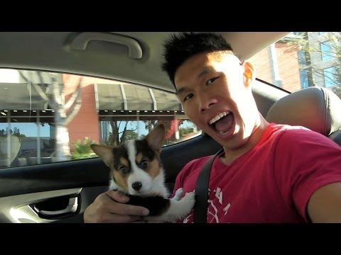 BRINGING HOME A CORGI PUPPY - Life After College: Ep. 321