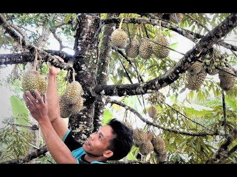 DURIO OF THE YEAR 2017: BIBIT DURIAN KROMO