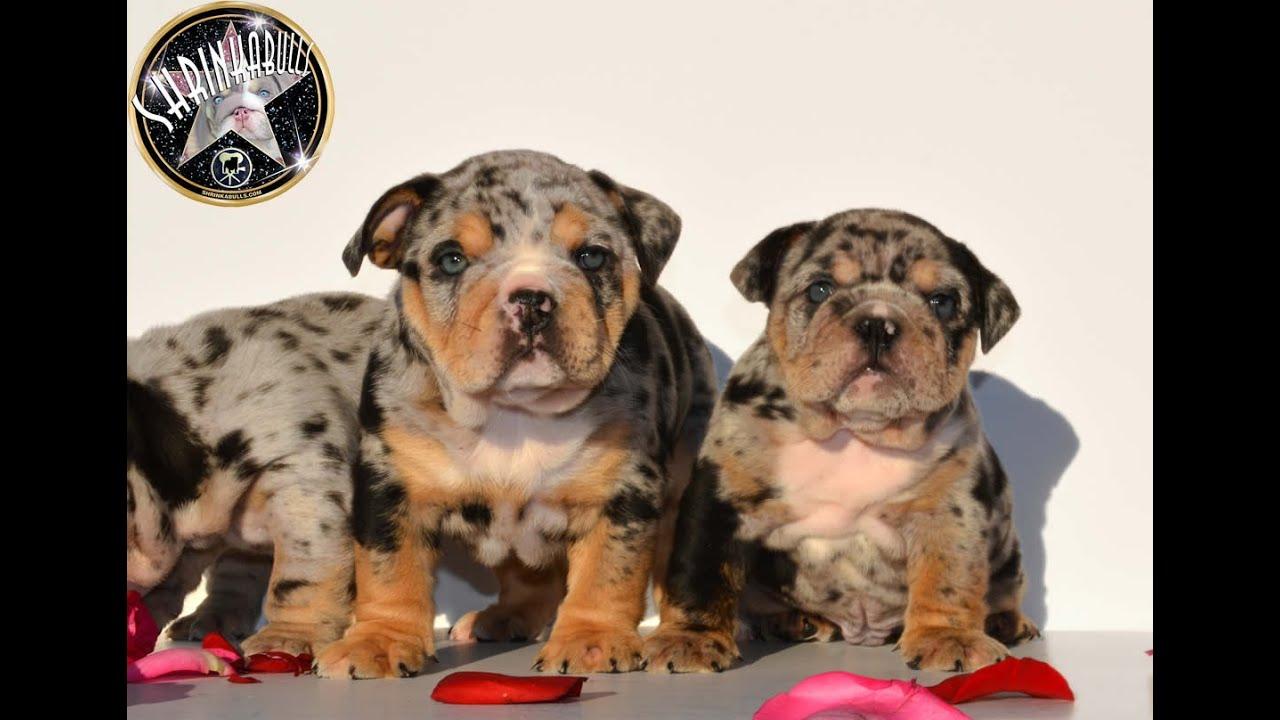 Blue merle bulldog puppy youtube