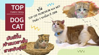 Top Dog Cat   แมวสายพันธุ์ Munchkin : Utoderic Cattery