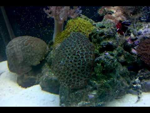 My New Purple Firefish Goby