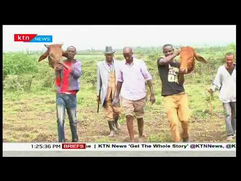 Stray lion attacks livestock and kills five cattle in Kajiado