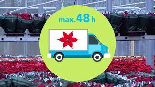 Film dotyczący sposobów transportowania, przechowywania i sprzedaży poinsecji