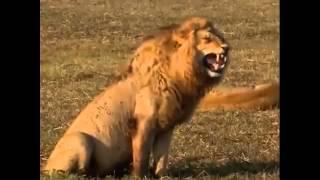 ライオン大爆笑しています!面白かったらチャンネル登録お願いします。