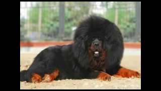 Tibetan Mastiff\Тибетский мастиф