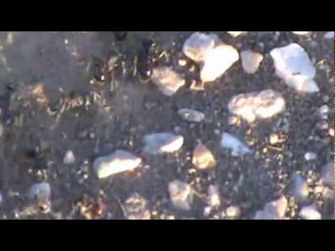 Kingman AZ Ants That Bite! 5/2012