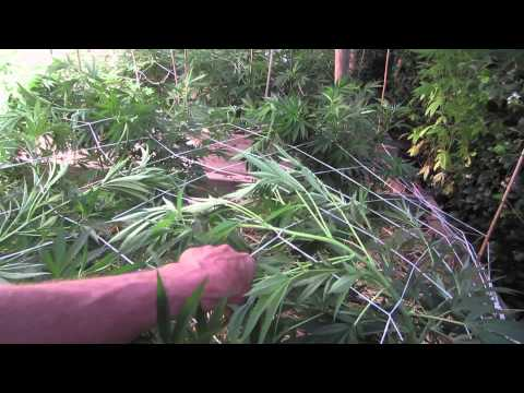 Grow Cannabis – Day 29 Part 2 – by Jorge Cervantes