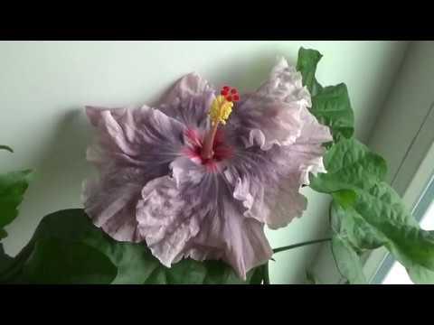 Гибискус moorea baby moon первое домашнее цветение