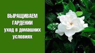 видео Гардения. Магические свойства растения