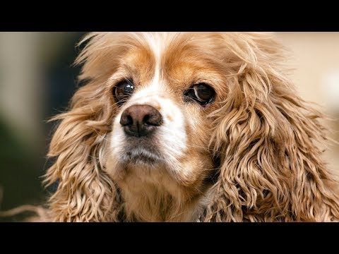 Cocker Spaniel Information and Price