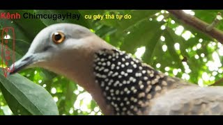 chim cu gáy cực đỉnh  10 triệu  ko bán (cơ sở bán giống  các loại 01635305982) thumbnail
