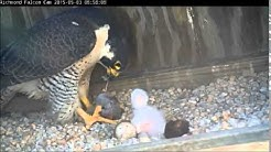 Richmond Peregrine Falcons: Falcons feed their chick two prey items