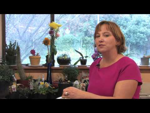 Flower Gardens : How to Grow Sea Holly (Eryngium Amethystinum)