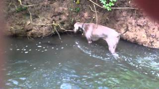 Weimaraner Searching The River Floor With Her Eyes And Feet!