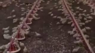 Куриная армия