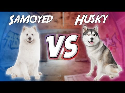 SAMOYED VS HUSKY