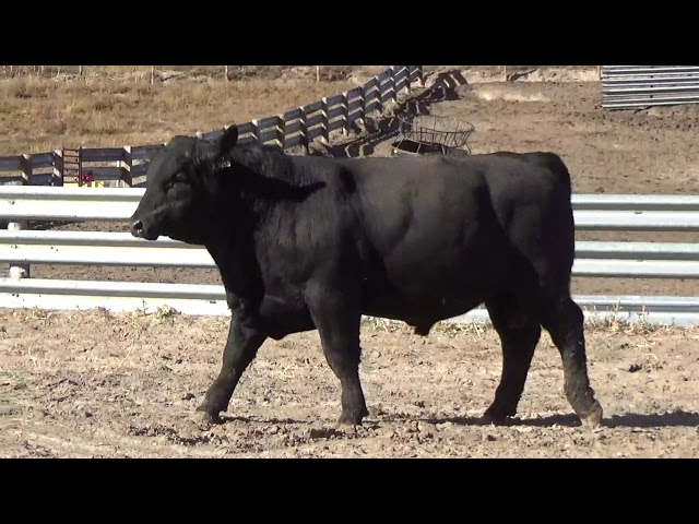 Connealy Angus Lot 115