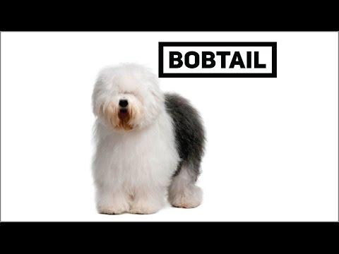 """Bobtail El perro """" pastor"""""""