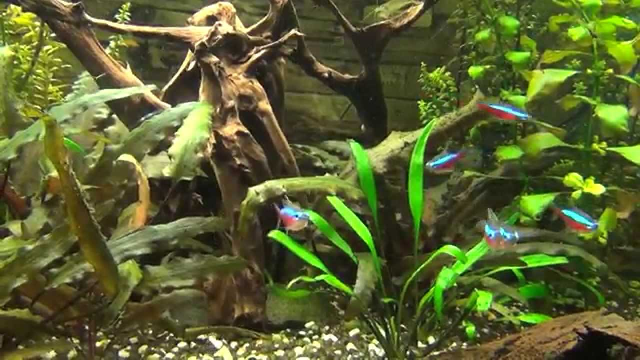 Zierfische im 200 liter aquarium mit garnelen youtube for Aquarium zierfische